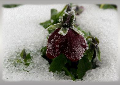 Burgundy and snow
