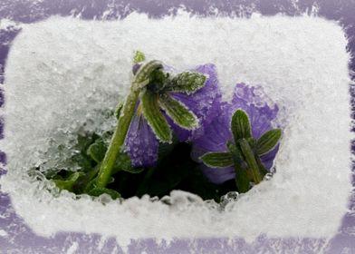 Two purple pansies