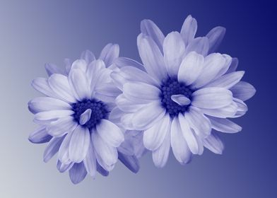 twisted blue petals