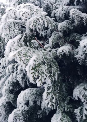 thuja brabant in the snow