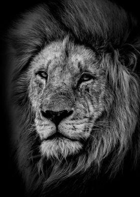 wild lion head poster