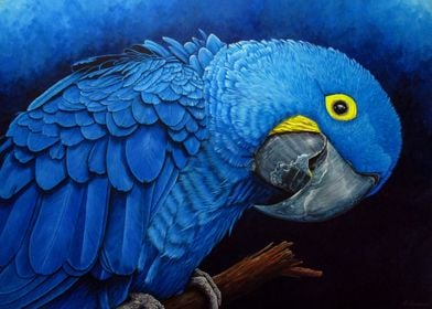 Blue  Macaw Portrait