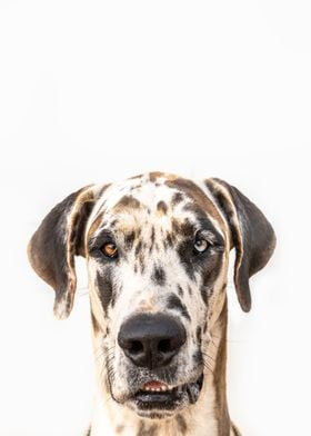 Great Dane Chaos