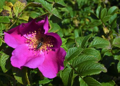 wild rose with bee