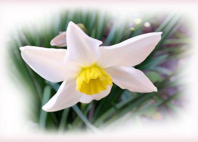 Narcissus bright shades