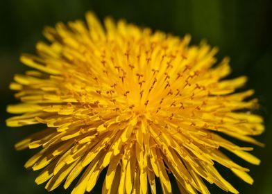 Dandelion 4