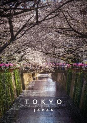 Meguro river and Sakura
