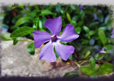 Blue purple petals