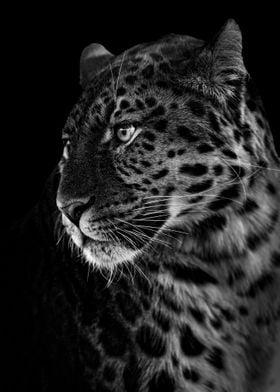 wild black african leopard