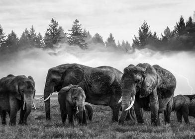 Elephants BW