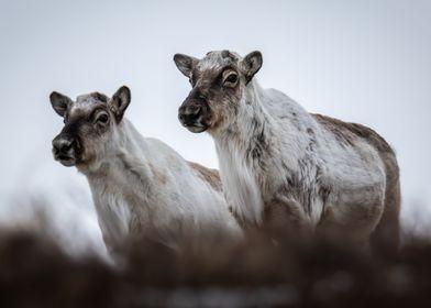 Watchful Reindeer
