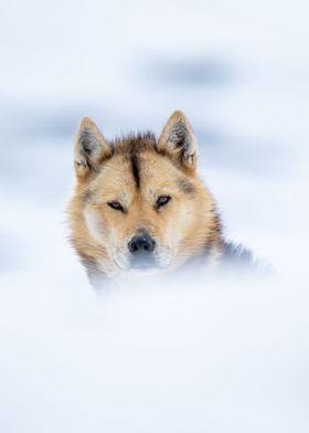 Polar Sled Dog