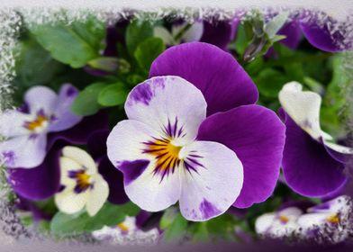 Purple white pansies
