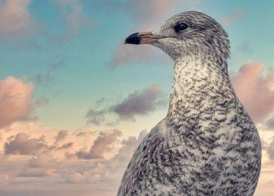 Ringbill Seagull