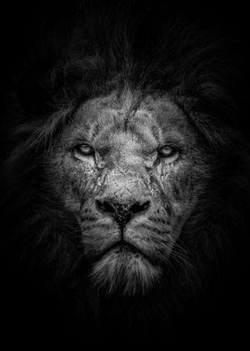 wild angryblack lion head