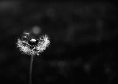 Black and White Dandelion