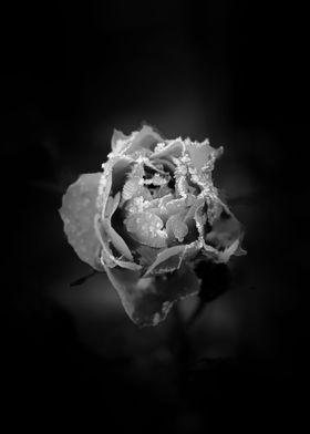 Frozen Rose Petals