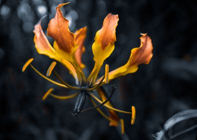 Fire Lily 2