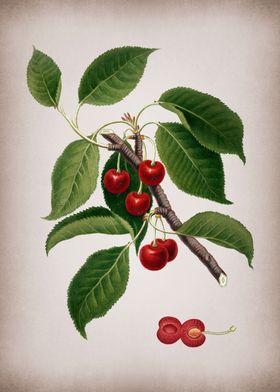 Vintage Cherry Poster Art