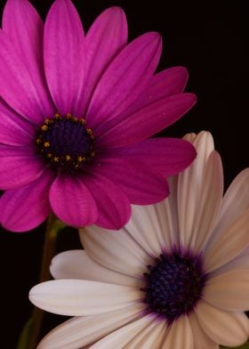 Violet flower daisies