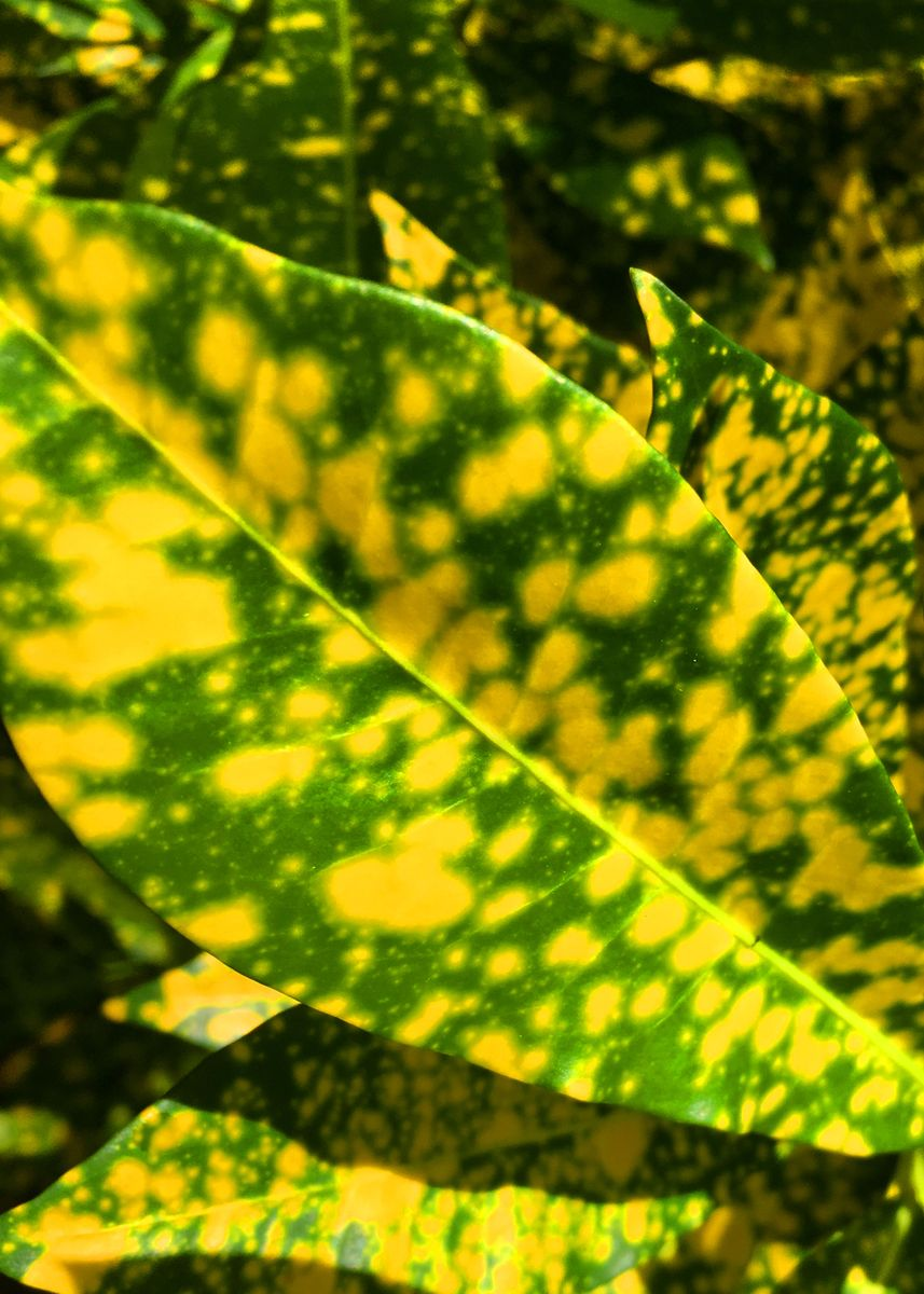 Yellow Tropical Leaves Metal Poster Print Enrique Anonat Iii Displate See more ideas about tropical, tropical leaves, leaves. displate